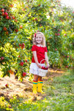 Little girl picking apples in fruit garden Stock Image