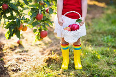 Little girl picking apples in fruit garden Royalty Free Stock Photos