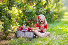 Little girl picking apples in fruit garden Royalty Free Stock Image