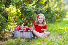 Little girl picking apples in fruit garden. Child picking apples on a farm in autumn. Little girl playing in apple tree orchard. Kids pick fruit in a basket stock image
