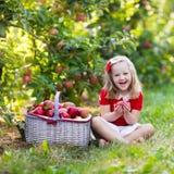 Little girl picking apples in fruit garden Royalty Free Stock Images