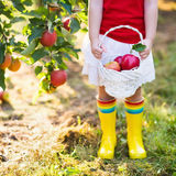 Little girl picking apples in fruit garden Stock Photo