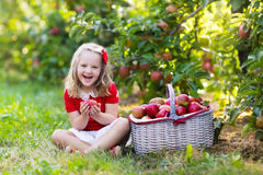 Little girl picking apples in fruit garden Royalty Free Stock Photography