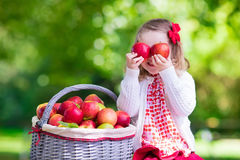 Little girl picking apples in fruit orchard Royalty Free Stock Image