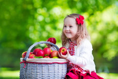 Little girl picking apples in fruit orchard Royalty Free Stock Photos