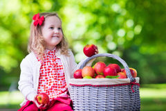 Little girl picking apples in fruit orchard Stock Images