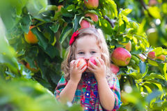 Little girl picking apples from tree in a fruit orchard Royalty Free Stock Image