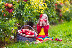 Little girl picking apples from tree in a fruit orchard Royalty Free Stock Photography