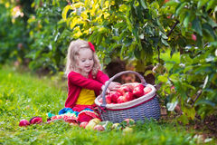 Little girl picking apples from tree in a fruit orchard Stock Photos