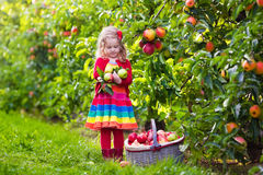 Little girl picking apples from tree in a fruit orchard Royalty Free Stock Photos
