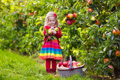 Little girl picking apples from tree in a fruit orchard Royalty Free Stock Images