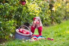 Little girl picking apples from tree in a fruit orchard Stock Photography