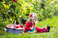 Little girl picking apples from tree in a fruit orchard Stock Image