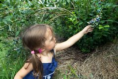 Little Girl Picking Blueberries Royalty Free Stock Photos