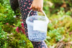 Little girl picking blueberry in a summer forest. Plastic bucket with berries in a hand. Little girl picking blueberries in a summer forest. Plastic bucket with stock photo