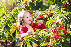 Little girl picking cherry in fruit garden. Kids picking cherry on a fruit farm. Children pick cherries in summer orchard. Toddler kid eating fresh fruit from royalty free stock image