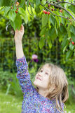 Little girl picking a cherry Stock Photography