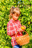 Little girl picking Clementines. Little seven year old girl is picking Clementines in her garden royalty free stock photos