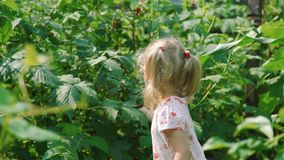 Little Girl Picking and Eating Fresh Raspberries stock footage