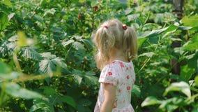 Little Girl Picking and Eating Raspberries stock video