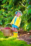 Little girl picking fresh cherry on a farm Stock Photo