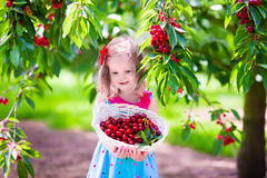 Little girl picking fresh cherry on a farm Royalty Free Stock Images