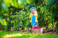 Little girl picking fresh cherry on a farm Stock Image