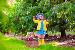 Little girl picking fresh cherry on a farm Royalty Free Stock Image