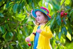 Little girl picking fresh cherry on a farm Stock Photography
