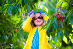 Little girl picking fresh cherry on a farm Stock Images