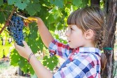 Little girl picking grape during wine harvest Stock Photo