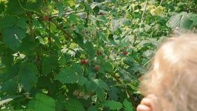 Little Girl Picking Raspberries in the Garden stock video footage