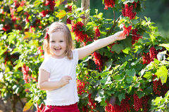 Little girl picking red currant in the garden Royalty Free Stock Images