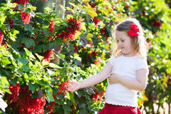 Little girl picking red currant in the garden Stock Photos