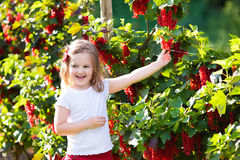 Little girl picking red currant in the garden Stock Image