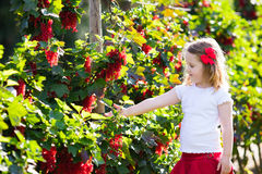 Little girl picking red currant in the garden Royalty Free Stock Image