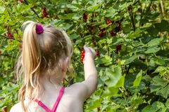 Little girl picking ripe berries of gooseberry in the garden royalty free stock photo