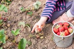Little girl picking strawberries Royalty Free Stock Photo