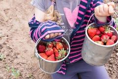 Little girl picking strawberries Royalty Free Stock Image