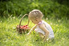 Little girl picking strawberries. In a basket background of nature stock photography