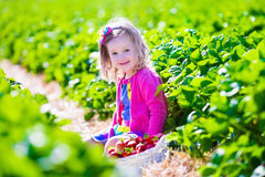 Little girl picking strawberry on a farm Royalty Free Stock Image
