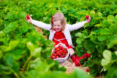 Little girl picking strawberry on a farm field Stock Images