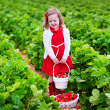 Little girl picking strawberry on a farm field Royalty Free Stock Photo