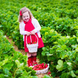 Little girl picking strawberry on a farm field Stock Photography