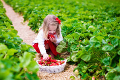 Little girl picking strawberry on a farm field Royalty Free Stock Photos