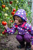 Little girl picking tomatoes Stock Photography