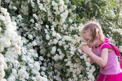 Little girl with pigtails admires bush with white flowers Stock Images
