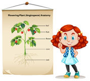 Little girl and plant anatomy Royalty Free Stock Images