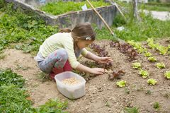 Little girl working in the garden. Little girl planting young salad seedlings in spring, helping with gardening. Education for life, home fun concept royalty free stock images