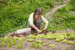 Little girl working in the garden. Little girl planting young salad seedlings in spring, helping with gardening. Education for life, home fun concept royalty free stock image